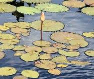 Μαξιλάρια κρίνων στη λίμνη Στοκ φωτογραφία με δικαίωμα ελεύθερης χρήσης