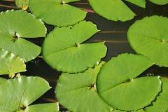 Μαξιλάρια κρίνων στο βοτανικό κήπο Καράκας λιμνών κήπων Στοκ Εικόνα