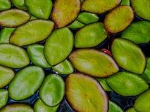 Μαξιλάρια κρίνων στο νερό Στοκ Φωτογραφία