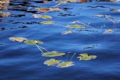 Μαξιλάρια κρίνων Στοκ φωτογραφία με δικαίωμα ελεύθερης χρήσης