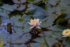 Μαξιλάρι Lotus και κρίνων Στοκ Εικόνες