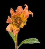 Μαραμένα άψυχα λουλούδια νταλιών Στοκ Εικόνες