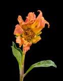 Μαραμένα άψυχα λουλούδια νταλιών Στοκ Εικόνα