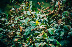 Μαραμένα φύλλα στο θάμνο Στοκ Εικόνα