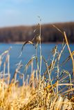 Μαραμένες χλόες στο riverbank στοκ εικόνες