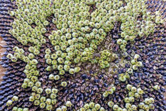 Μαραμένος ηλίανθος με τους σπόρους Στοκ Εικόνες