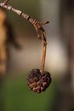 Μαραμένος ξηρός - καρπός Στοκ Φωτογραφία