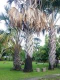 Μαραμένος φοίνικας στον κήπο στοκ εικόνες