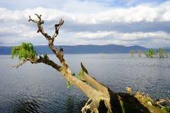 Μαραμένο δέντρο στη θάλασσα στοκ εικόνα
