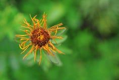 Μαραμένο λουλούδι σε ένα πράσινο υπόβαθρο στοκ εικόνα