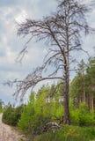 Μαραμένο παλαιό πεύκο και νέα δέντρα έλατου Στοκ Εικόνες
