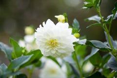 Μαργαρίτα ανθοκόμων ` s morifolium χρυσάνθεμων, σκληραγωγημένος κήπος mum Στοκ Φωτογραφία