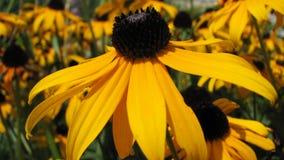 μαργαρίτα κίτρινη Στοκ εικόνες με δικαίωμα ελεύθερης χρήσης