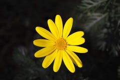 μαργαρίτα κίτρινη Στοκ Εικόνες