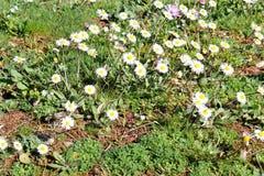 μαργαρίτα Όμορφος άσπρος τομέας των λουλουδιών μαργαριτών στον κήπο Υπόβαθρο λουλουδιών άνοιξης και καλοκαιριού και όμορφο φυσικό Στοκ φωτογραφία με δικαίωμα ελεύθερης χρήσης