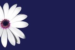 μαργαρίτα Στοκ εικόνες με δικαίωμα ελεύθερης χρήσης