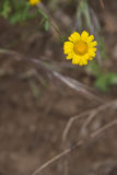 μαργαρίτα Στοκ φωτογραφία με δικαίωμα ελεύθερης χρήσης