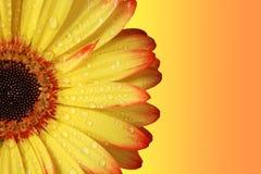 μαργαρίτα gerber Στοκ φωτογραφία με δικαίωμα ελεύθερης χρήσης