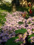 Μαργαρίτα Michaelmas στον κήπο Στοκ Εικόνα