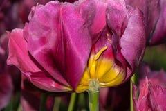 Μαργαρίτα Tulip Flower Στοκ Φωτογραφία