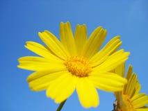μαργαρίτες κίτρινες Στοκ Εικόνες