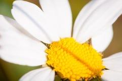 Μαργαρίτες και αυτιά του καλαμποκιού στον αγροτικό θερινό τομέα στοκ εικόνες