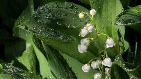 Μαργαρίτες στις πτώσεις βροχής απόθεμα βίντεο