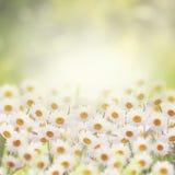 Μαργαρίτες στον κήπο λουλουδιών Στοκ φωτογραφίες με δικαίωμα ελεύθερης χρήσης