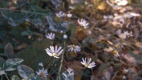 Μαργαρίτες φθινοπώρου στον τομέα στοκ εικόνα με δικαίωμα ελεύθερης χρήσης