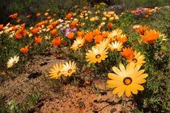Μαργαρίτες Namaqualand - Νότια Αφρική Στοκ Εικόνα