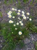Μαργαρίτες Wildflower Στοκ φωτογραφία με δικαίωμα ελεύθερης χρήσης