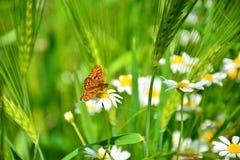 Μαργαρίτες Wildflowers Στοκ φωτογραφία με δικαίωμα ελεύθερης χρήσης