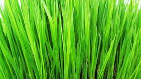 Μαργαριτάρια δροσιάς στην πράσινη χλόη Στοκ Εικόνα