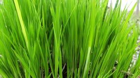 Μαργαριτάρια δροσιάς στην πράσινη χλόη Στοκ Φωτογραφίες
