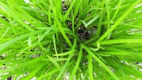 Μαργαριτάρια δροσιάς στην πράσινη χλόη Στοκ Φωτογραφία