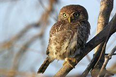 Μαργαριτάρι-επισημασμένο Owlet (perlatum Glaucidium) Στοκ εικόνες με δικαίωμα ελεύθερης χρήσης