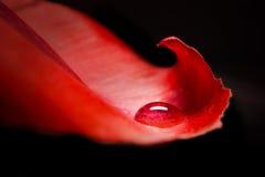 Μαργαριτάρι νερού σε ένα πέταλο στοκ φωτογραφίες