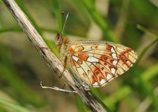 Μαργαριτάρι-οριοθετημένη πεταλούδα Fritillary Στοκ Φωτογραφία