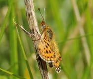 Μαργαριτάρι-οριοθετημένη πεταλούδα Fritillary Στοκ φωτογραφία με δικαίωμα ελεύθερης χρήσης