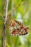 Μαργαριτάρι-οριοθετημένη πεταλούδα Fritillary Στοκ Εικόνα