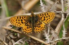 Μαργαριτάρι-οριοθετημένη πεταλούδα Fritillary Στοκ Εικόνες