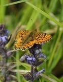 Μαργαριτάρι-οριοθετημένη πεταλούδα Fritillary Στοκ εικόνες με δικαίωμα ελεύθερης χρήσης