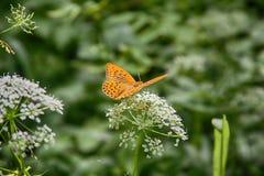 Μαργαριτάρι-οριοθετημένη σίτιση πεταλούδων οικογενειακών εντόμων Στοκ φωτογραφίες με δικαίωμα ελεύθερης χρήσης