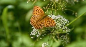 Μαργαριτάρι-οριοθετημένη σίτιση πεταλούδων οικογενειακών εντόμων Στοκ Φωτογραφίες
