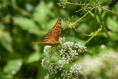 Μαργαριτάρι-οριοθετημένη σίτιση πεταλούδων οικογενειακών εντόμων Στοκ εικόνα με δικαίωμα ελεύθερης χρήσης