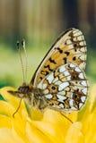 Μαργαριτάρι-οριοθετημένο Fritillary, πεταλούδα, Boloria euphrosyne Στοκ φωτογραφία με δικαίωμα ελεύθερης χρήσης