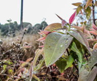 Μαργαριτάρι δροσιάς σε ένα πράσινο φύλλο Στοκ Εικόνες