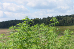 μαριχουάνα πεδίων στοκ φωτογραφία με δικαίωμα ελεύθερης χρήσης