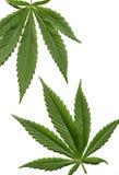 μαριχουάνα φύλλων Στοκ Εικόνες