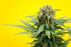 μαριχουάνα Στοκ εικόνα με δικαίωμα ελεύθερης χρήσης